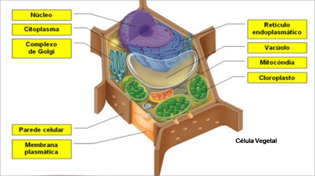 Célula vegetal com parede celular